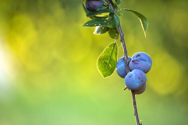 Fruits mûrs de prune sur les arbres. sur un fond vert défocalisé. fermer. mise au point sélective.