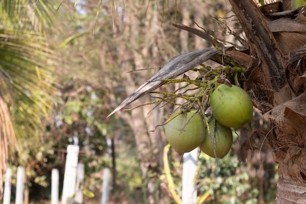 Fruits de noix de coco verts crus sur la plante