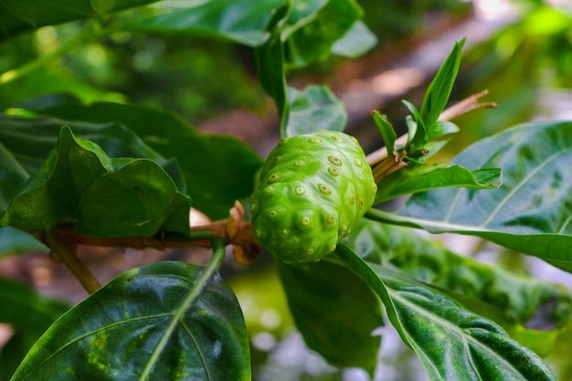 Fruits noni ou morinda citrifolia