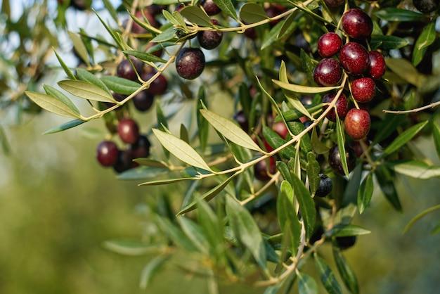 Fruits d'olive sur une branche d'arbre