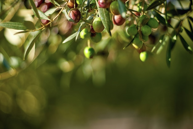 Fruits d'olive sur une branche