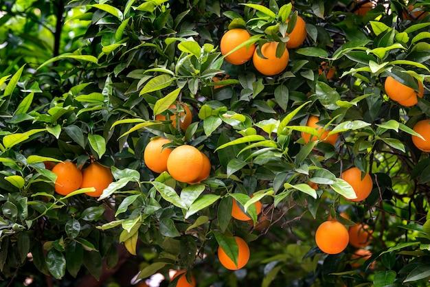 Fruits orange sur les arbres