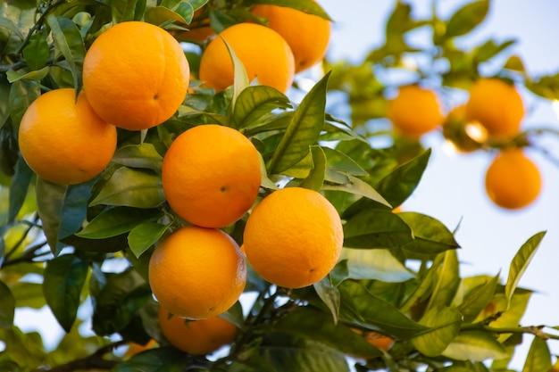 Fruits d'oranges mûres sur l'arbre