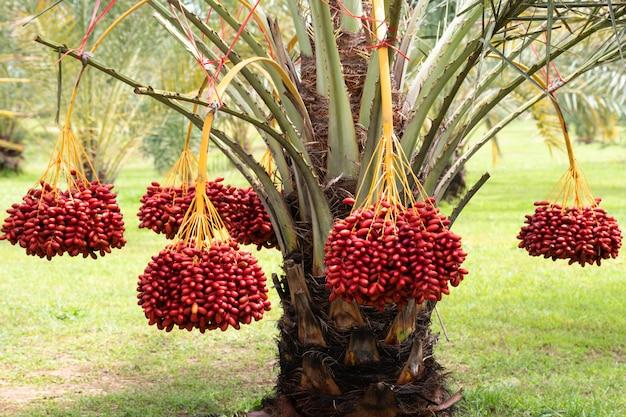 Fruits de palme mûrs avec branches sur palmier dattier
