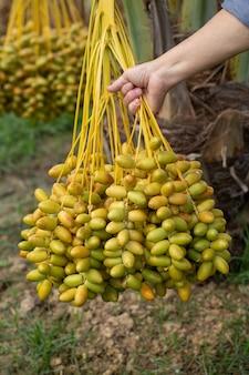Fruits de palmiers dattiers sur un palmier dattier. cultivé dans le nord de la thaïlande