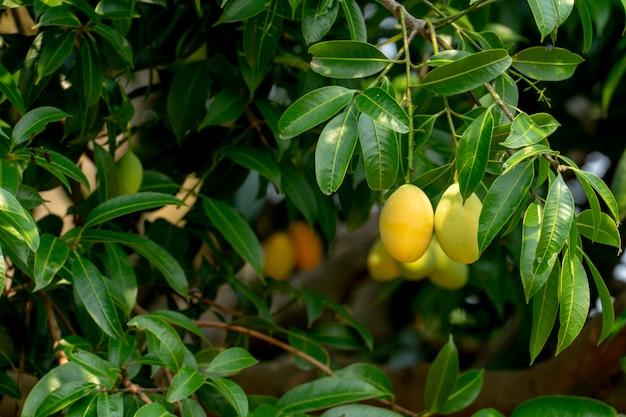 Fruits de prunes et de mangue en été. couleur jaune cher mais délicieux.