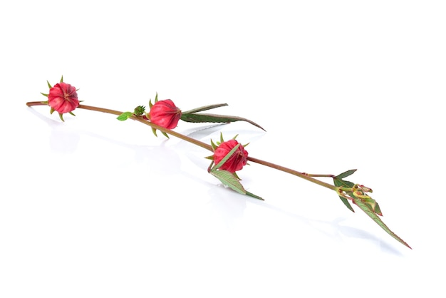 Fruits roselle, hibiscus sabdariffa rouge isolé sur fond blanc.