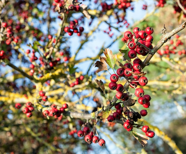Fruits rouges en automne