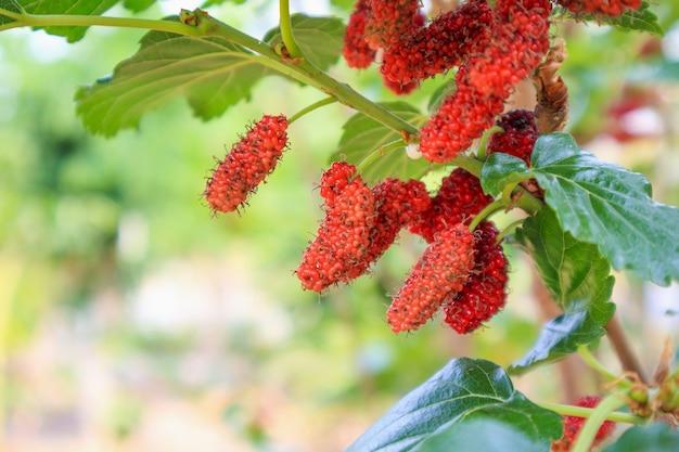 Fruits rouges frais de mûrier sur la branche d'arbre