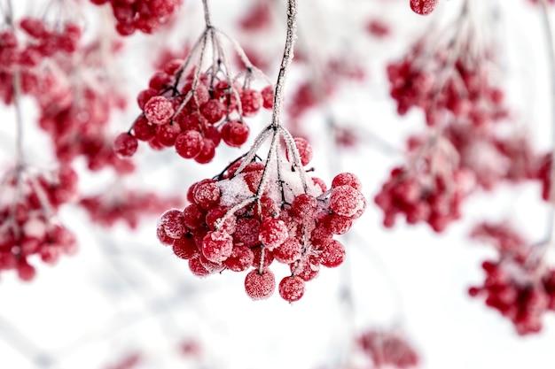 Fruits rouges avec givre sur les branches