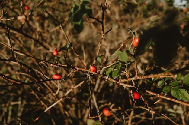 Fruits rouges mûrs d'automne de la plante médicinale rose sauvage