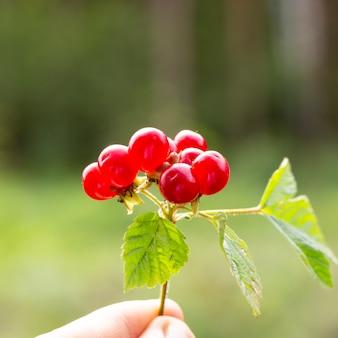 Fruits rouges rubus saxatilis ou ronce de pierre sur fond de forêt