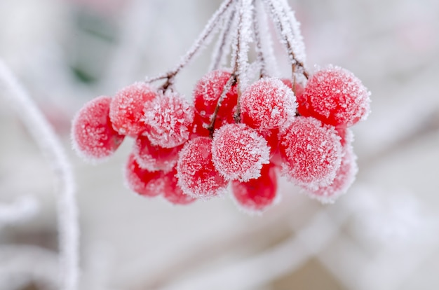 Fruits rouges de viburnum. viorne gelée en hiver