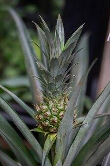 Fruits tropicaux d'ananas poussant dans la serre sur un arrière-plan flou avec mise au point sélective. délicieux fruits tropicaux. concept d'agriculture et d'agriculture industrielle.