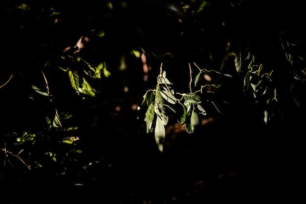 Fruits verts de l'avocatier suspendu aux branches, fond sombre.