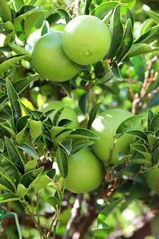 Fruits verts et feuilles de mandarine