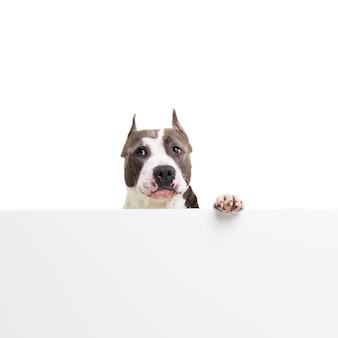 Funny american pit bull terrier est assis derrière un panneau blanc sur blanc en studio isolé