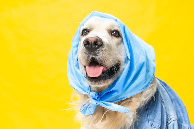 Funny golden retriever blanc vêtu d'un bandana comme une vieille dame