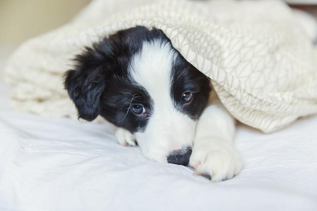 Funny portrait of cute smiling puppy dog border collie au lit à la maison