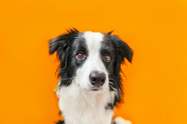 Funny studio portrait of cute smiling puppy dog border collie isolé