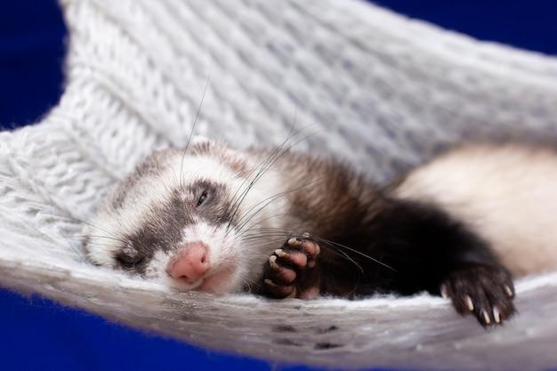 Furet dormant dans un hamac