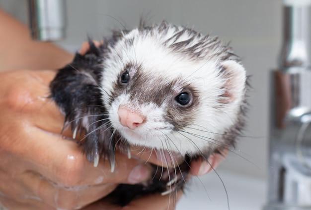 Furet obtenant un portrait de bain