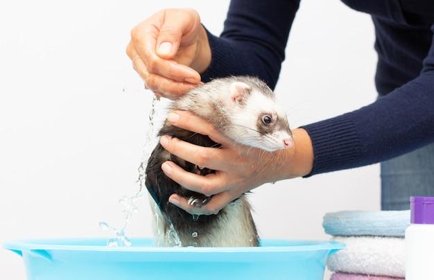 Furet (le putois) laver dans l'eau sur un fond blanc