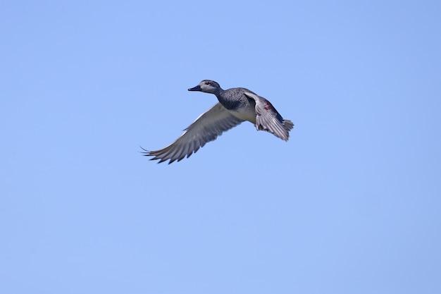 Gadwall mâle (mareca strepera) abattu pendant le vol