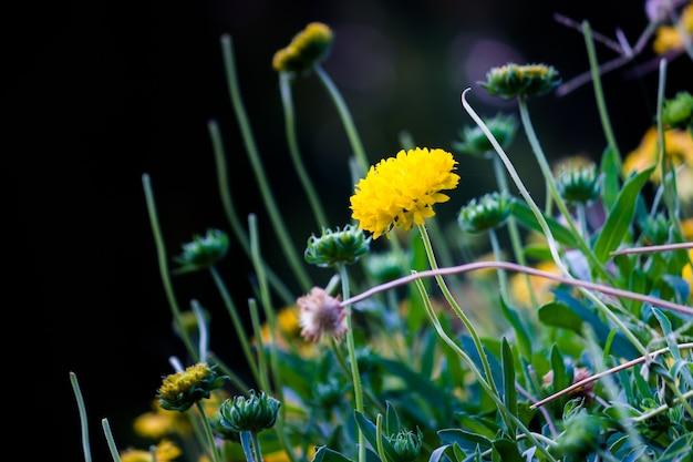 Gaillardia aristata commun ou fleur de couverture dans le jardin en pleine floraison au printemps