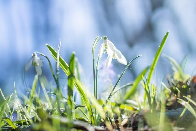 Galanthus, fleurs de perce-neige. fleurs de perce-neige de printemps frais. perce-neige au feuillage jaune de l'an dernier. gros plan de perce-neige fleur.