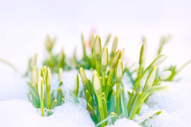 Galantus poussant hors de la neige.