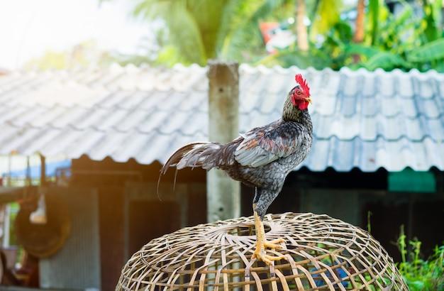 Gamecock sur la cage