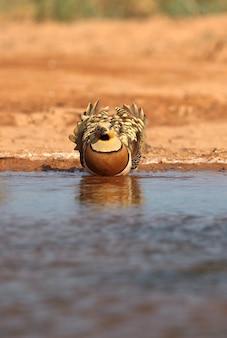 Ganga à queue épingles mâle de boire à un point d'eau en été avec la première lumière du jour