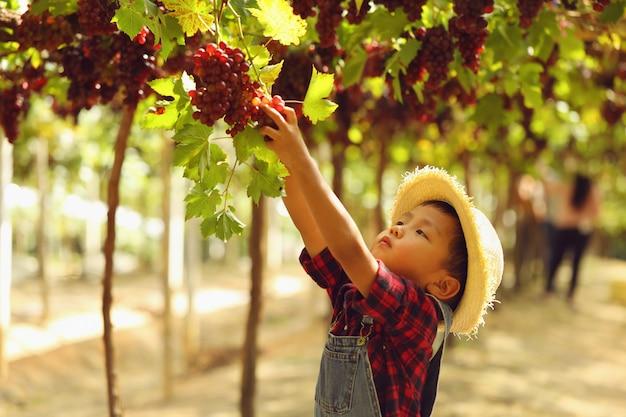 Un garçon asiatique cueille une grappe de raisin le matin.