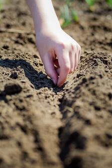 Garçon plante des graines de carottes dans un lit de jardin.