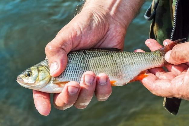 Gardon de poisson de rivière entre les mains d'un pêcheur chanceux