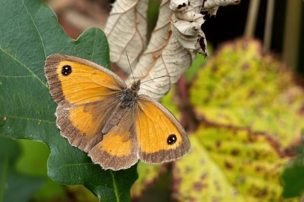 Le gatekeeper ou hedge brown (pyronia tithonus) papillon reposant sur une feuille