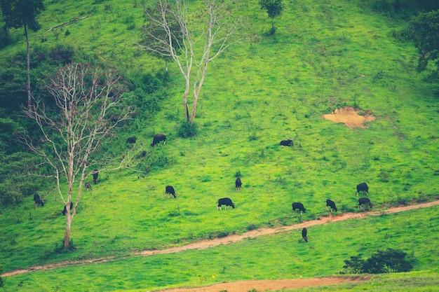 Gaur dans la forêt tropicale, la faune en thaïlande