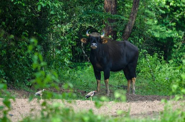 Gaur dans l'habitat naturel en thaïlande