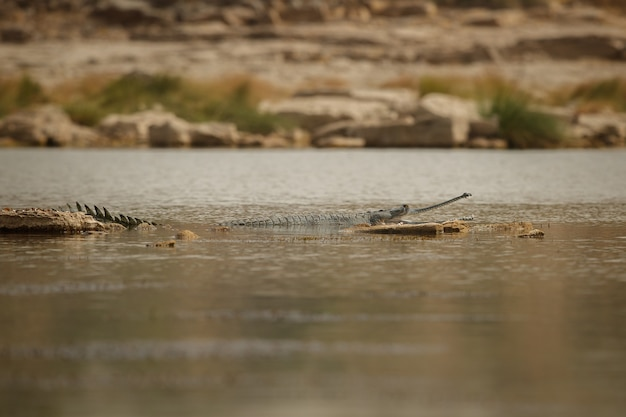 Gavial indien dans le sanctuaire de la rivière chambal, habitat naturel