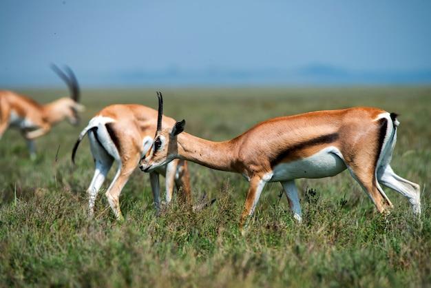 La gazelle de thompson sauvage ou eudorcas thomsonii dans la savane