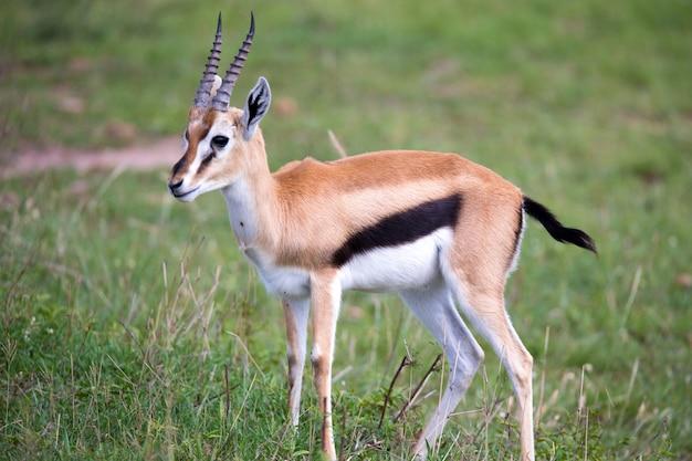 Une gazelle de thomson dans la savane kenyane au milieu d'un paysage herbeux