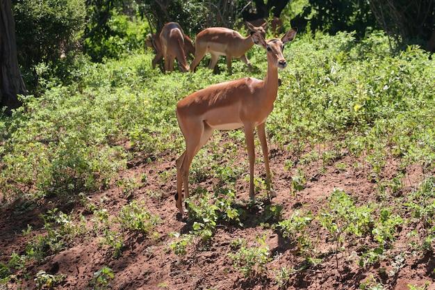 Gazelles en afrique