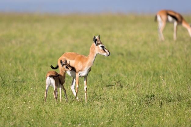 Gazelles de thomson au milieu d'un paysage herbeux