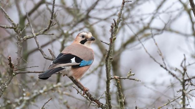 Geai Eurasien Dans La Forêt D'hiver. Garrulus Glandarius. Photo Premium