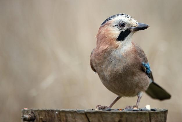 Geai eurasien (garrulus glandarius) sur la mangeoire à oiseaux d'hiver