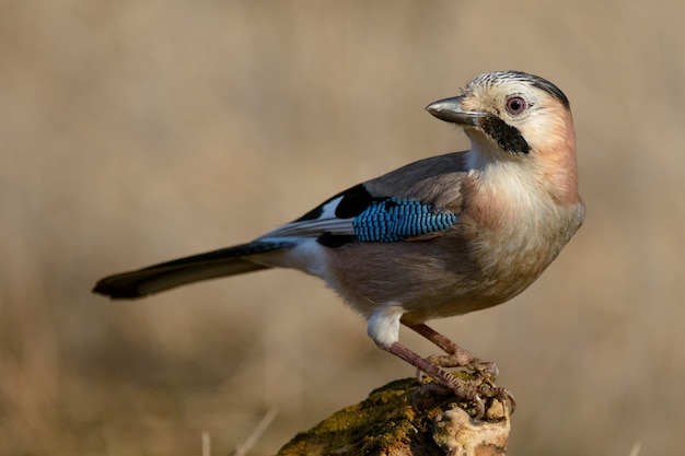 Geai eurasien sur la mangeoire à oiseaux d'hiver