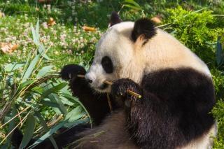 Géant panda géant zoo en chine