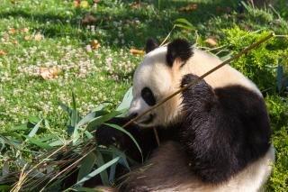 Géant panda géant zoo