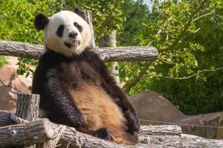 Géant panda géant